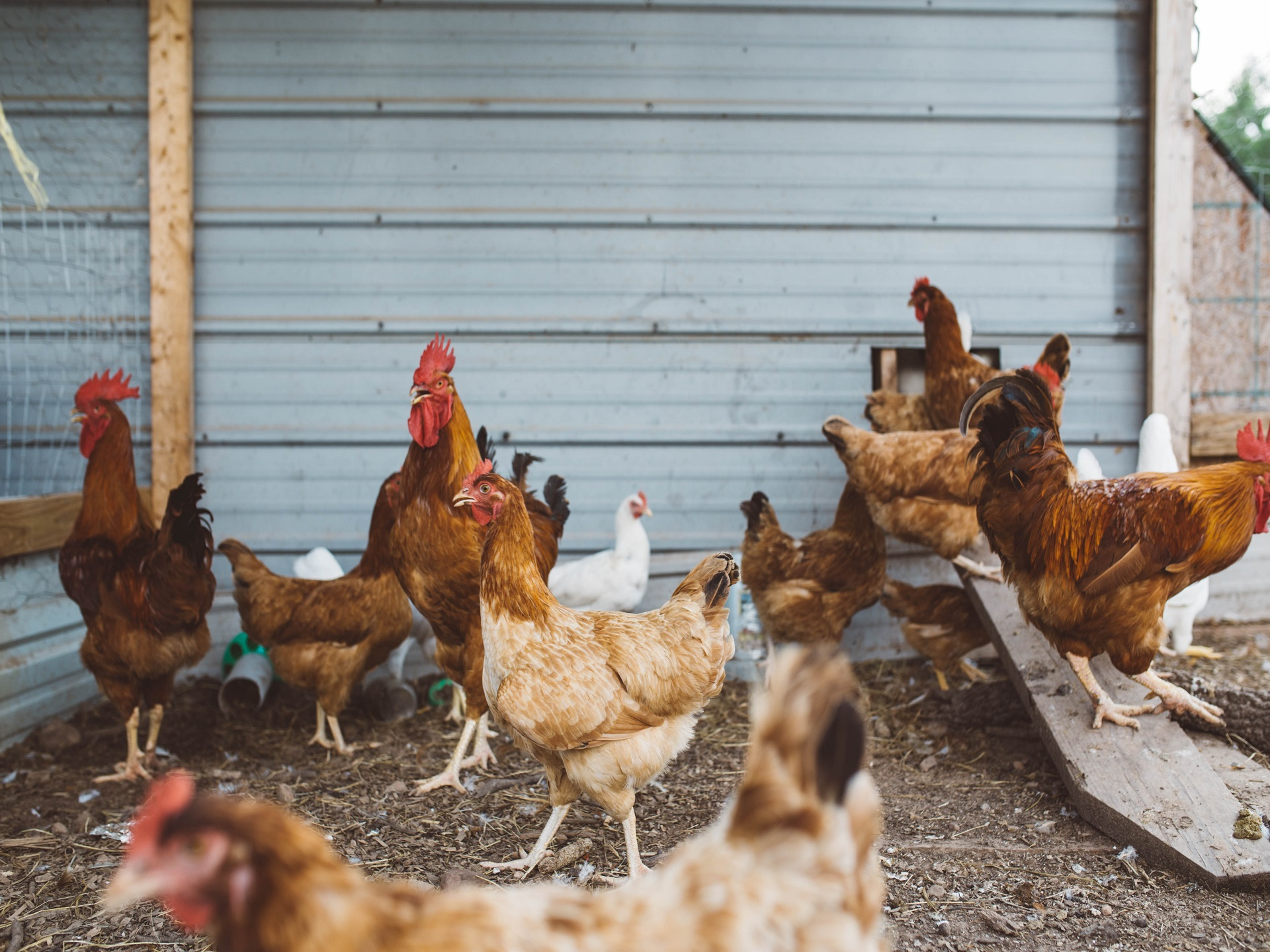 Poultry & Farm Animal
